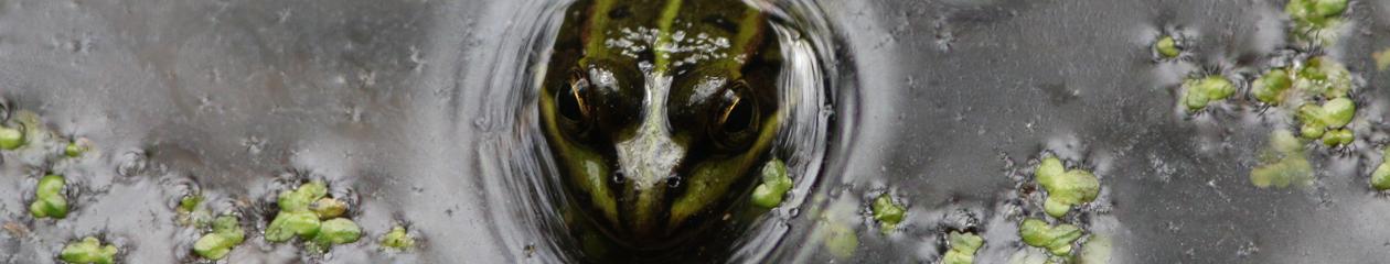 gruenfrosch